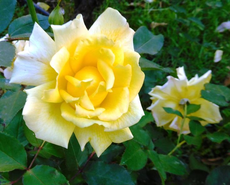 https://flic.kr/p/QtPPtk | YELLOW ROSE OF RODOS