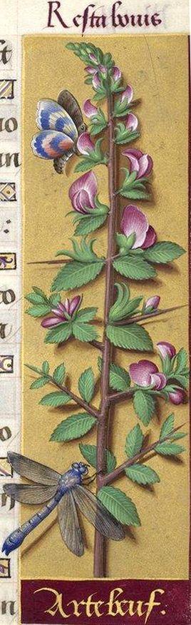 """Artebeuf - Resta bovis (Ononis repens L. ou O. spinosa L. = arrête-bœuf, bugrane (bougrande, dans le Vexin français)) -- Grandes Heures d'Anne de Bretagne, BNF, Ms Latin 9474, 1503-1508, f°151r -- """"Artebeuf"""" / """"Arrête-boeuf"""", métathèse ?"""
