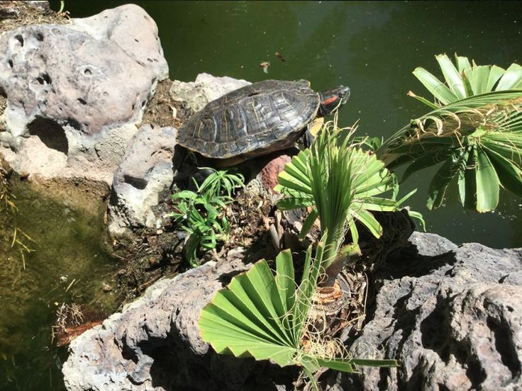 #turtle pond near the University of Arizona Campus