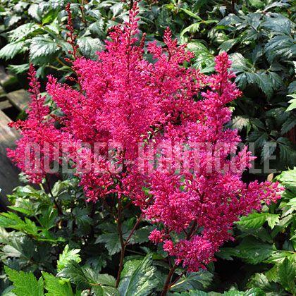 image de Astilbe japonica Red Sentinel