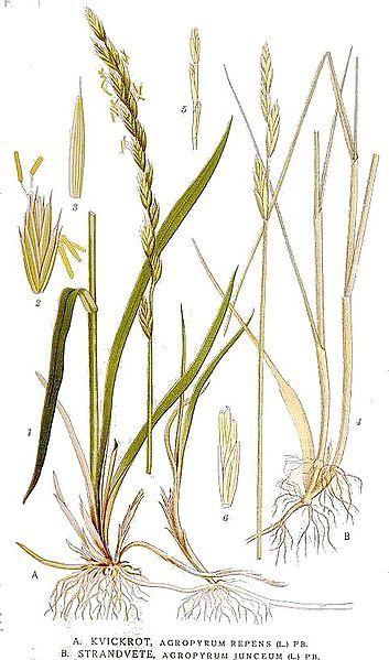 Chiendent - Agropyrum Repens - BIO Teinture mère - Cliquez sur l'image pour la fermer