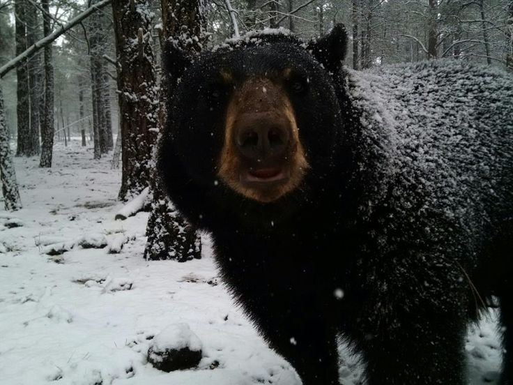 bear in the snow at bearizona wildlife park in williams. Black Bedroom Furniture Sets. Home Design Ideas