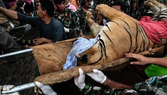 Sadis! 40 Anak Harimau Mati Ditemukan di Mesin Pendingin