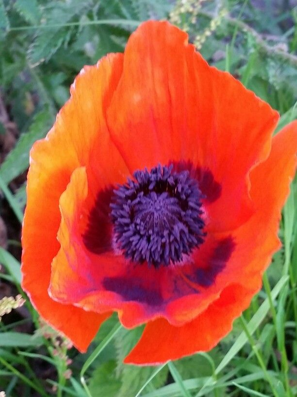Valmuer ♡ Glede :-) #blomster #glede #valmue #fargeprakt