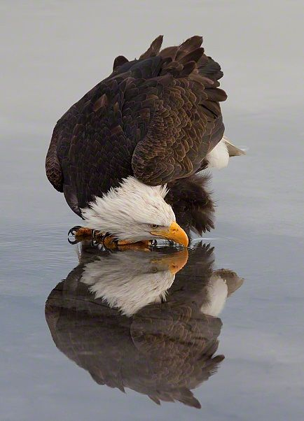 A vertical image of an American Bald Eagle and it's reflection while drinking water on the surface of the icy ground near Kachemak Bay, Alaska