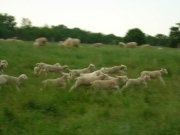 Lambs stretching their legs!