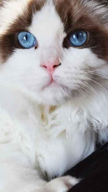 Ragdoll Cat Cute Animals Pinterest Cats Kittens And Cute Cats