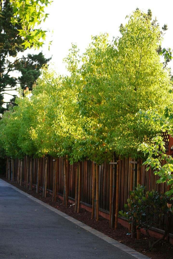 privacy trees garden fence