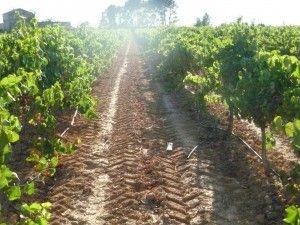 Viñedo de Souvignon Blanc recién vendimiado http://75centilitros.es/vendimia-2013-en-valencia-a-pleno-ritmo/
