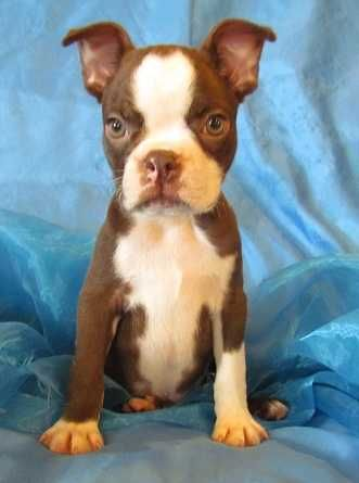 I really want a brindle Boston Terrier!!!