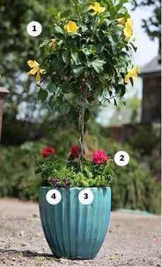 Tips for for container gardens, window boxes. This one contains 1. Tropical yellow hibiscus, 2. Geraniums, 3. Sedum 'angelina,' 4. Million bells, Superbells Plum