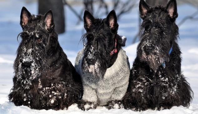 Snowy Scotties: Scottie Dogs Sweaters, Snow Scottie, Things Scottie, Beautiful Scottie, Cuti, Sweet Scottie, Snowy Scottie, Scottie Rules, Scottish Terriers