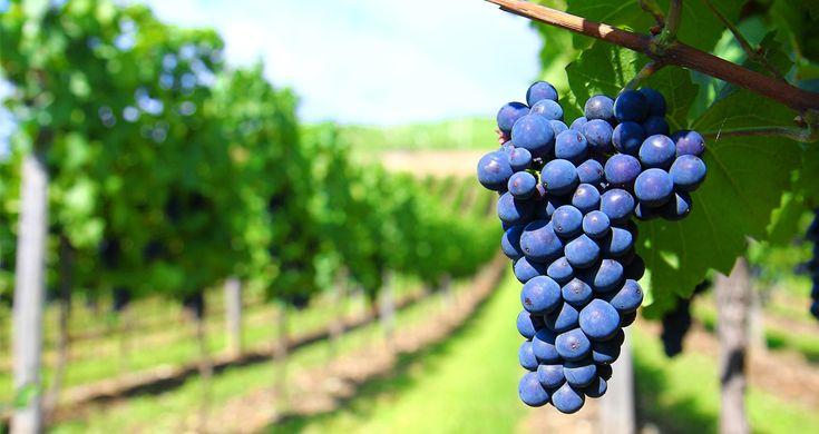 Druiven als gezonde snoep: Nu zijn druiven heel algemeen te verkrijgen in heel veel verschillende soorten: witte, blauwe, rode, zwarte, met pit of zonder en in heel wat verschillende smaken. Het is ook geen luxe product meer wat vroeger wel het geval was.