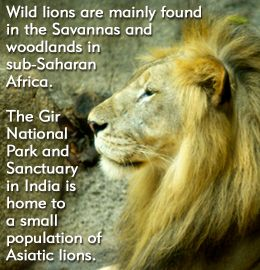 Lion Habitat: Where Do Lions Live?