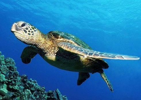 Chelonia Mydas Blue Turtle