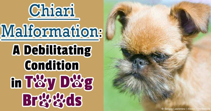 Researchers reveal that selective breeding of toy dogs can result in a painful spinal cord disease called syringomyelia. http://healthypets.mercola.com/sites/healthypets/archive/2014/05/14/selective-breeding-toy-dogs.aspx