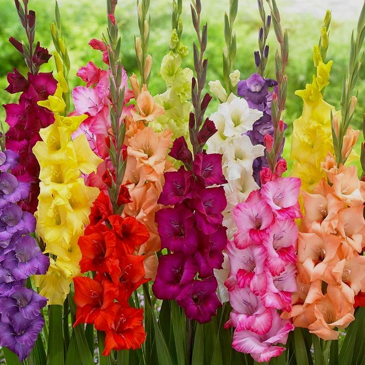 10pcs Gladiolus Flower Bulbs Mix Not Seeds Fresh Rare Fast Shipping 100 Real Bulbs Fresh Bulbs Gladiolus Flower Bulb Flowers Gladiolus Wedding Flowers