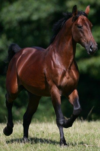 Cleveland Bay stallion Cholderton Issus