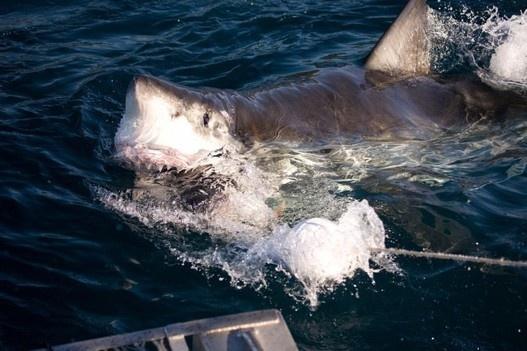 Shark news: Good for whale sharks, bad for great whites   Asia News – Politics, Media, Education   Asian Correspondent