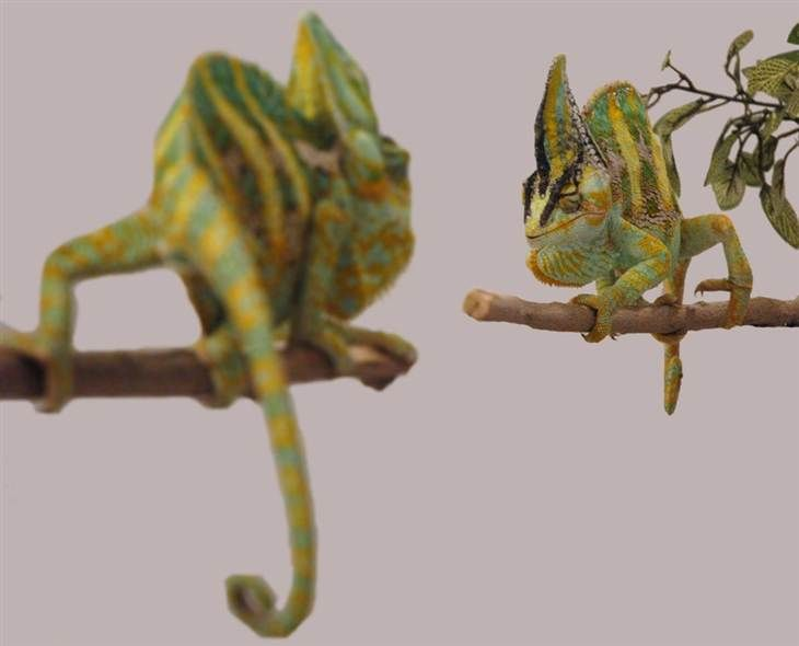 Chameleons intimidate rivals with quick color change