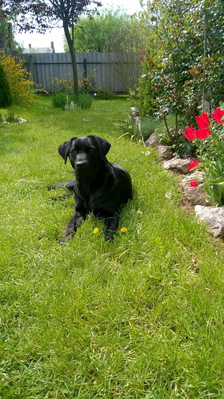Bella, the labrador retriever