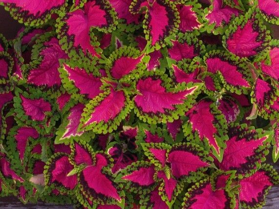 coleus -  This fast growing and easy to propagate plant is extremely popular in container gardens, due in part to its striking colors and varieties. They need well drained, nutrient enriched soil, and regular watering for optimum growth.  Keep in mind that most varieties prefer full sun, but some require partial shade to thrive, so check your seed packet or plant label for light requirements.    Read more: http://blog.builddirect.com/6-plants-that-thrive-in-full-sun/#ixzz3gk8KK6NE