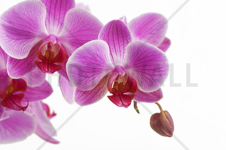 Deep Pink Orchid - Fototapeter & Tapeter - Photowall