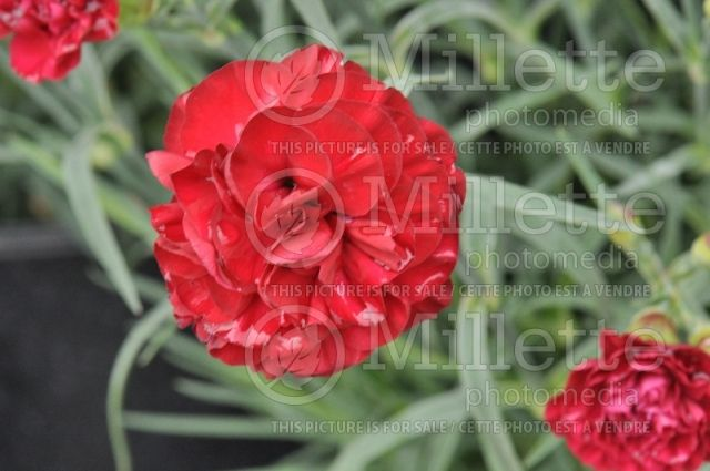 Dianthus Scent First Passion   Dianthus Scent First WP Passion. fleurs doubles, rouge velouté ...