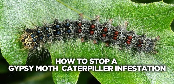 how-to-stop-a-gypsy-moth-infestation