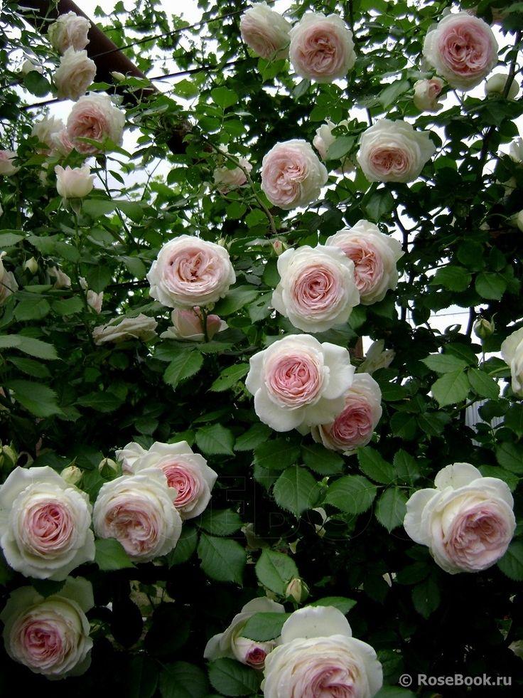 92 best pierre de ronsard rose eden rose images on. Black Bedroom Furniture Sets. Home Design Ideas
