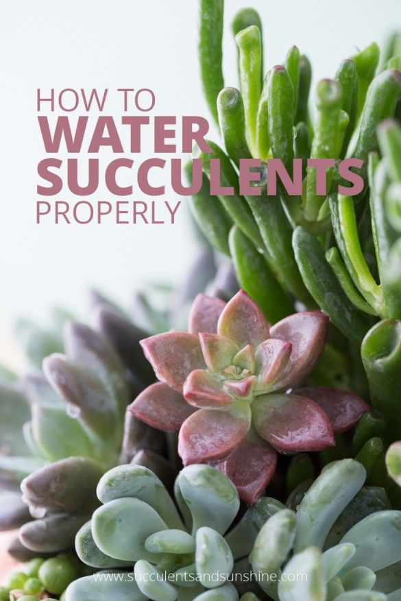 Learn how to water your succulents so they stay healthy and beautiful!