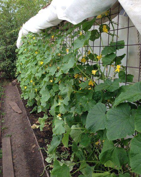 Умный огород! Методы выращивания огурцов! | Дачный сад и огород