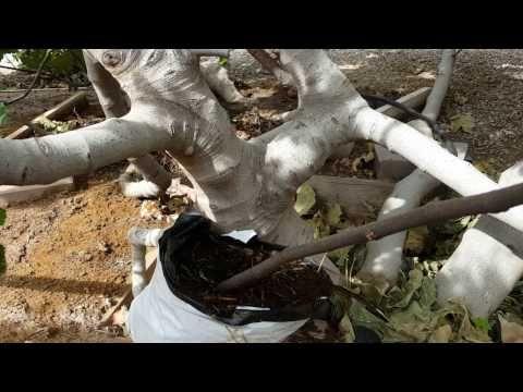 무화과 뿌리 내리는 방법 Fig Rooting - YouTube