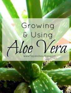 Growing & using  the aloe vera plant   PreparednessMama