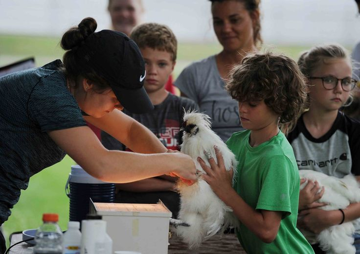 Drew Allen, 11, from Huxley, holds his chicken as Abby Sindt, poultry superintendent of 4-H Story County, tests for pullorum disease in the chicken by taking its blood before check-in at the Story County Fair on Friday at Story County Fair Ground in Nevada. Photo by Nirmalendu Majumdar/Ames Tribune