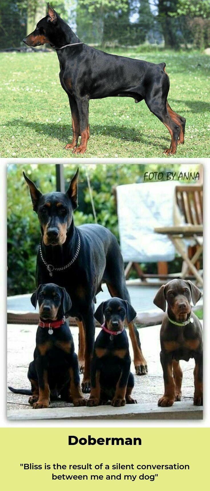 Dobermans Dobermaninstagram Dobermanpuppies Doberman Dogs