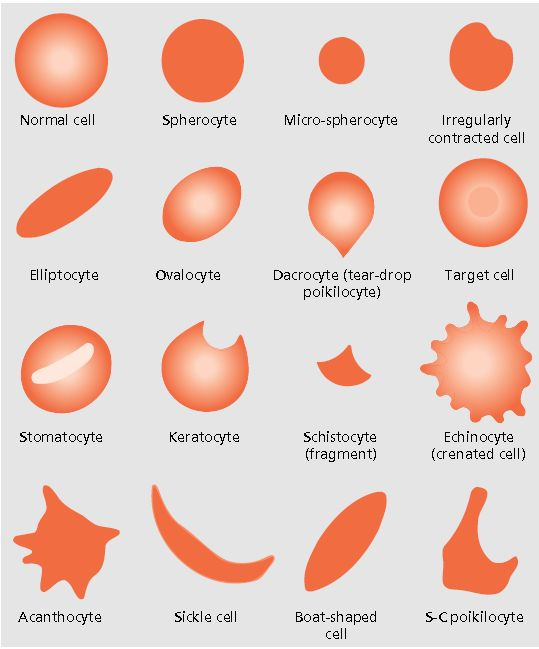 Red blood cells                                                                                                                                                                                 More