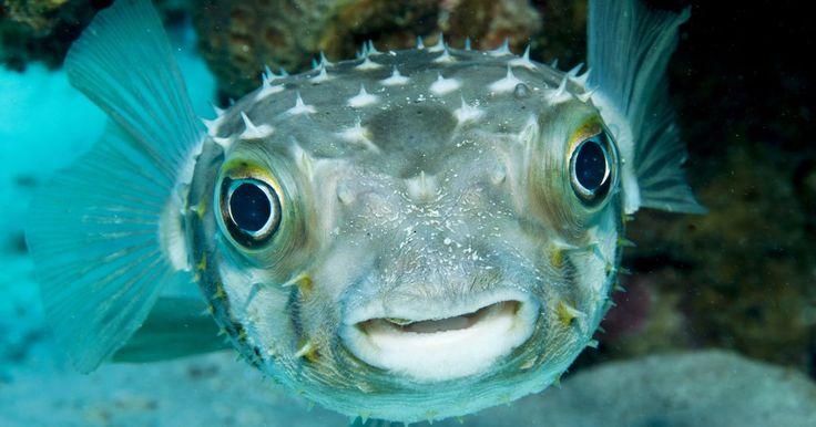Datos sobre el pez globo. El pez globo forma parte de la familia Tetraodontidae, que incluye a más de 120 especies conocidas, entre otros, como los peces fugu, el pez globo y el pez sapo. Para la defensa, estos peces se inflan rápidamente con agua hasta que se asemejan a globos. La mayoría de las especies contienen veneno (tetrodoxin), el cual no impide que sean ...