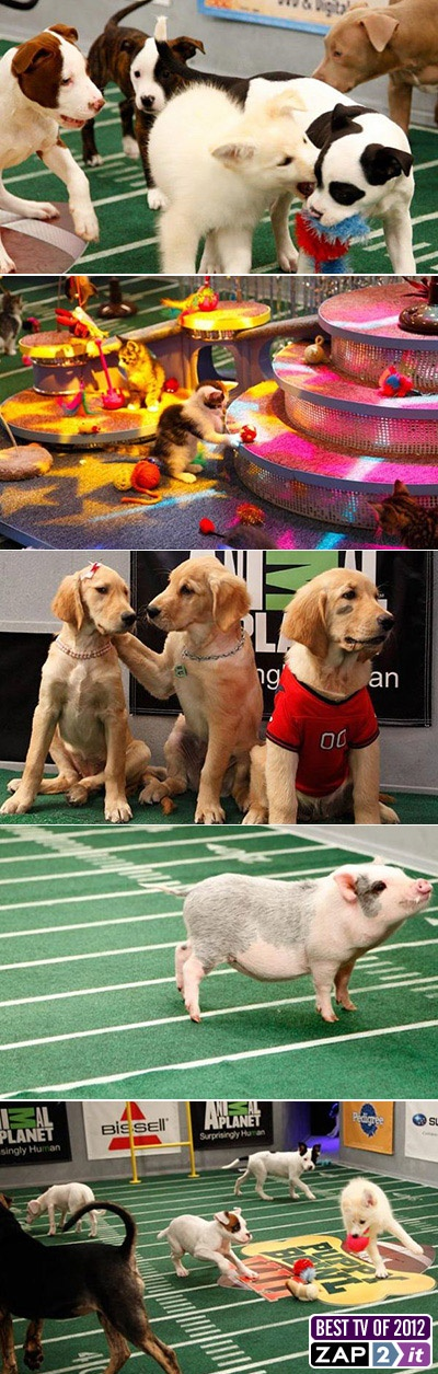 #PuppyBowl VIII: Adorable #puppies, the Kitty Half-Time Show, and a Piggy Pep Squad!