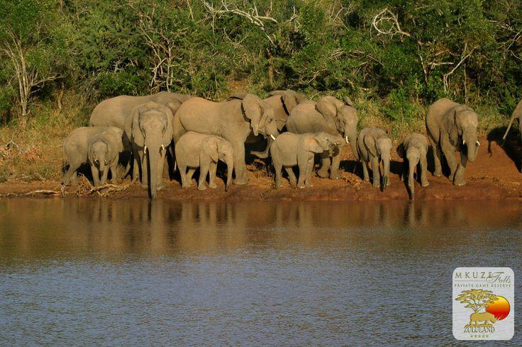 Elephants at Mkuze Falls
