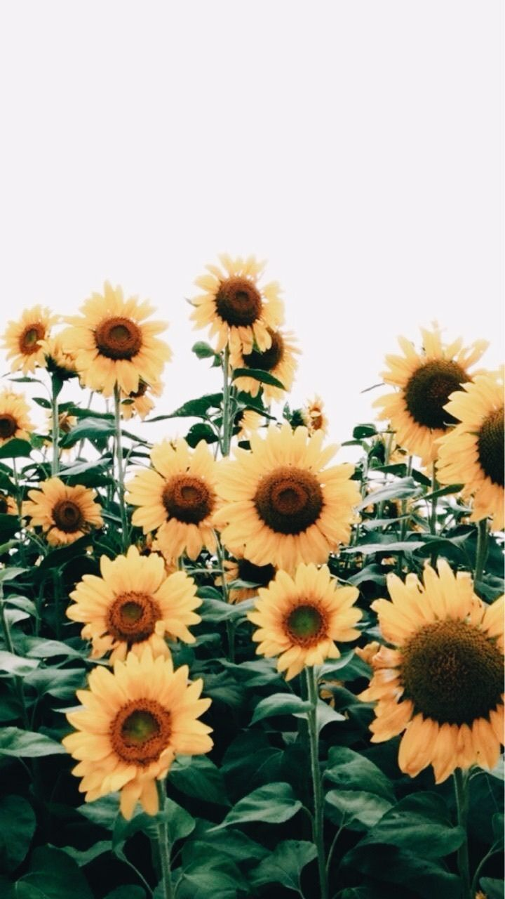 If you see some iphone aesthetic sunflower wallpaper you'd like to use, just click on the image to … Pin by Emma on flowers | Sunflower wallpaper, Wallpaper