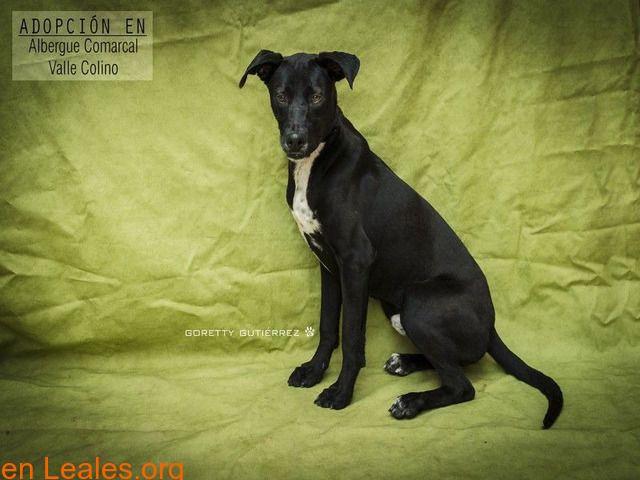 Perros Machos En Adopción España Santa Cruz De Tenerife Tenerife Perros En Adopcion Adopcion Tenerife