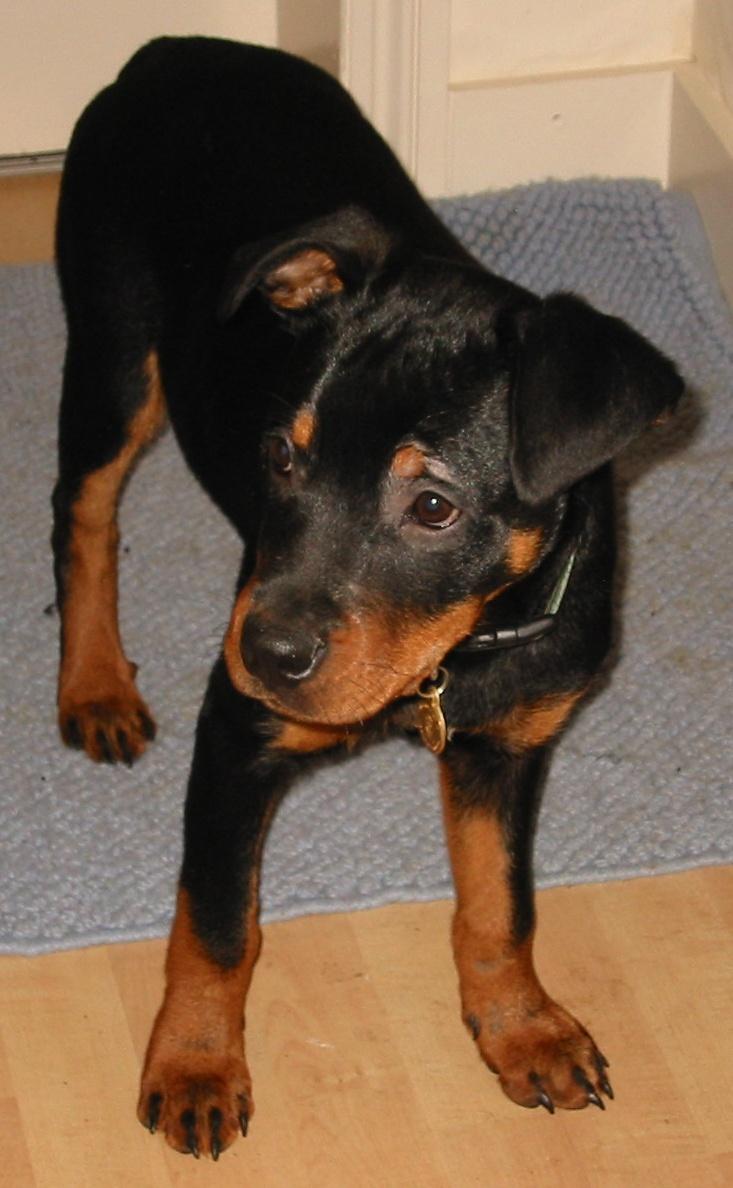 Alfie. (mostly) Rottweiler puppy, Highgate, 2004.