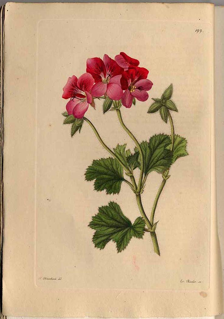 Pelargonium, botanische illustratie, ca. 1830
