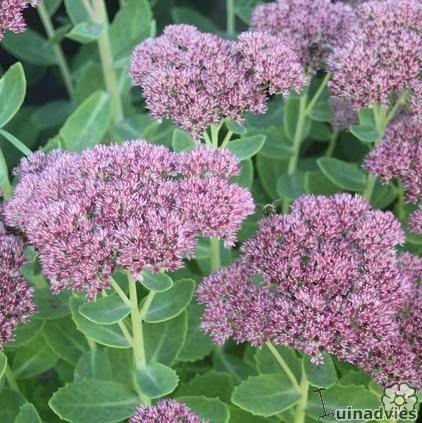 Top 10 bloeiende planten in september  Sedum (Hoog type)