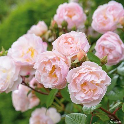 Rosen durch Stecklinge vermehren