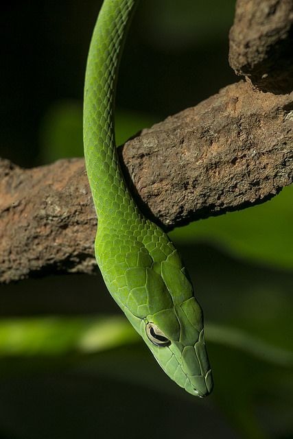 Asian Vine Snake | Reptilemania | Vine snake, Snake ...