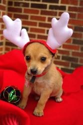 Desmond is an adoptable Chihuahua Dog in Dallas, TX. Desmond and his sister, Molly, are 8 week old Chihuahua/Terrier mix puppies who were brought to the shelter by their owner who also owned the mom a...