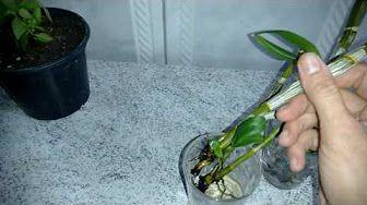 UTI para recuperar orquídeas - YouTube