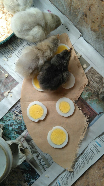 Tyrnäväläisiä tipuja. Keitetty kananmuna maistuu tipuillekin.